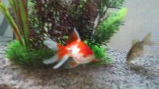 poisson: voile de chine (01) - Vidéo Dailymotion
