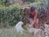 Attaque de 3 Chiots Labradors