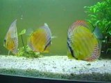 Discus sauvages