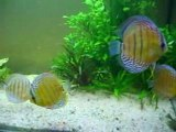 discus sauvages repas