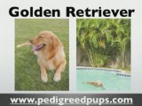 Golden Retriever puppies - Golden Retriever Information