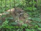 Cougars of Big Cat Rescue
