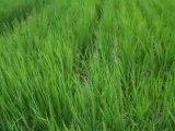 Le son du Japon, 5 : le vent dans la rizière