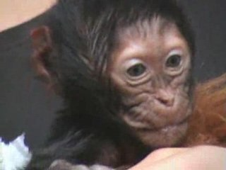 Naissance d'un singe Gelada au PAL