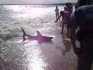Un requin sur la plage de La Baule