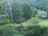 Les vaches pendant le stage Bafa à Aurillac...