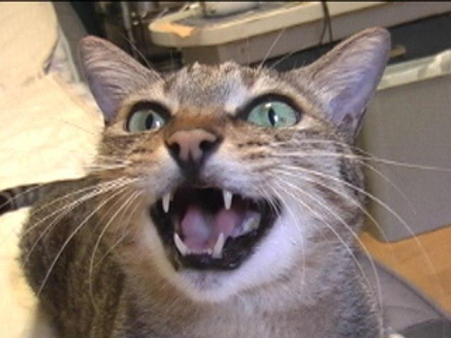 Tsuneo Cat Song 2
