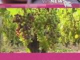 Château Picque Caillou et la véraison vin wine