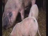British Bits: British Pigs