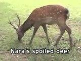 Spoiled Deer From Nara, Japan