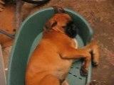 chien ronfleur