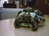 tortu terrestre