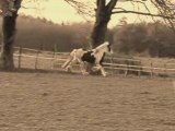 chevaux irish cob forum