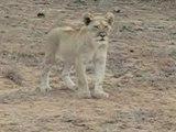 Voyage de noces Afrique du Sud - Un mignon petit lion