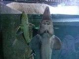 Requins à l'aquarium du Trocadéro