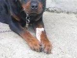 mon chien qui mange un os