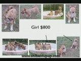 Shiba Puppies - Florida Shiba Inu