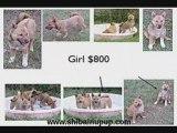 Shiba Puppies: Florida Shiba Inu