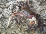 bataille de crabe avec un chien !