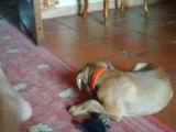 Ma chienne Daïka pur boxer