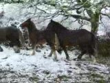 Chevaux et neige