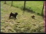 Ferret VS Dog -- Furet VS Chien kerouac