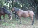 Jeux entre chevaux
