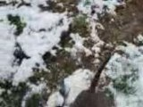 amstaff kyara et kaiser dans la neige