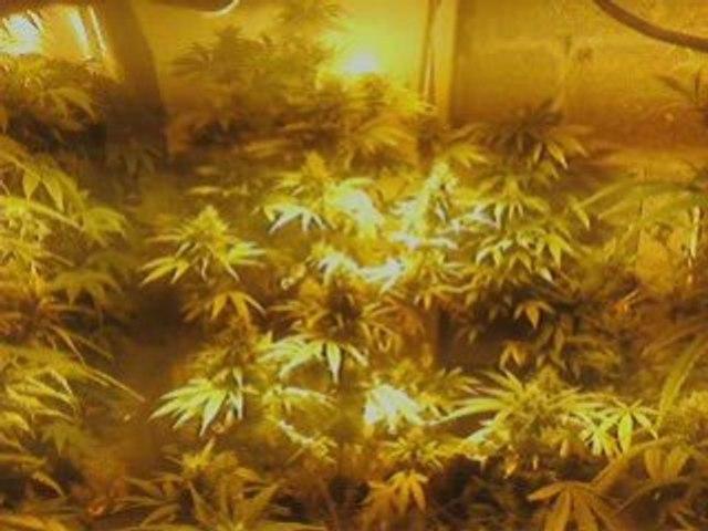 !!cannabis indoor!! alx da weed who  kill *!*