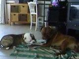 jeu entre deux chiens tres adorable