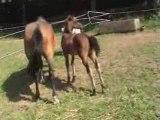 Poulains avec de superbes origines - chevaux de sport