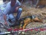 Vêlage ou la naissance d'un veau