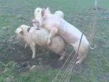 Un cochon trop près d'une cloture électrique