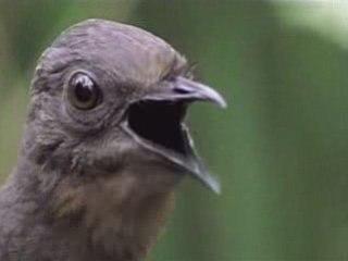 L'oiseau lyre, Oiseau imitateur