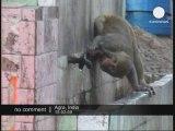 Inde - Les singes font la loi