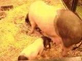 Cochon et bébé 2 Salon de l'Agriculture 220209