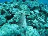 Murène dans le lagon de Nouvelle Calédonie