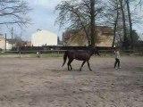 Travail du cheval à la longe