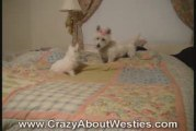 Westie Dog and Westie Puppy Playing
