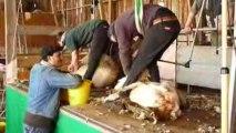 Tonte des moutons de Mérinos de la bergerie Nationale
