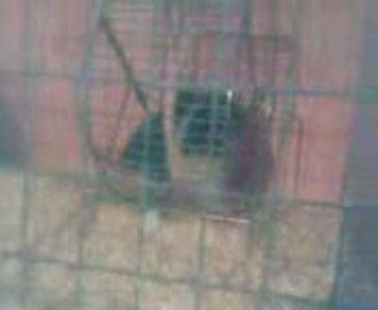 Rat Husky vs Rat bleu