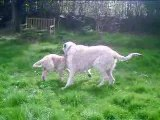 Faust (3 mois) et Flo (2 ans). Irish wolfhound.12 avril 2009