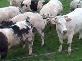 Réglisse et les vaches Belges le retour