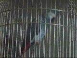 Bibiche perroquet Gris du Gabon parle
