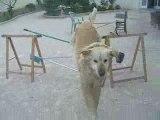 Tidjy mon chien en OBSTACLE :D'