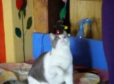 my cat playing as a dog!!! Mon chat qui joue comme un chien!