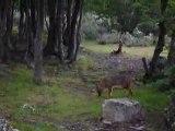Yannos et Fanch, avec un renard