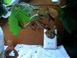 Acouplement Extatosoma tiaratum 1