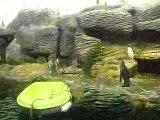 Les pinguoins au zoo d'anvers
