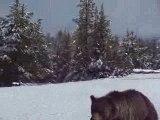 Ours Yellowstone vu par seb et cynthia